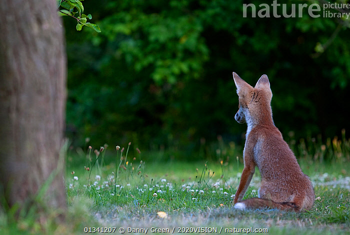 Red Fox (Vulpes vulpes) cub sitting in garden in late evening light, Leicestershire, England, UK, July, 2020VISION,CANIDAE,CARNIVORES,DGR_05072010_0092,ENGLAND,EUROPE,FOXES,GARDENS,JUVENILE,MAMMALS,REAR,SITTING,UK,URBAN,VERTEBRATES,United Kingdom,Dogs,Canids, Danny Green / 2020VISION