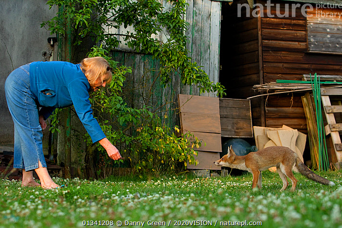 Red Fox (Vulpes vulpes) cub in garden taking food from woman, Leicestershire, England, UK, July 2010, 2020VISION,BEHAVIOUR,BUILDINGS,CANIDAE,CARNIVORES,CAUCASIAN,DGR_05072010_0094,ENGLAND,EUROPE,FEEDING,FOXES,GARDENS,HAND FEEDING,JUVENILE,MAMMALS,OUTDOORS,PEOPLE,TAME,UK,URBAN,VERTEBRATES,WOMAN,United Kingdom,Dogs,Canids, Danny Green / 2020VISION