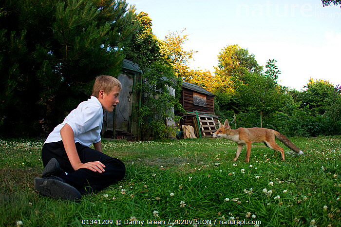 Red Fox (Vulpes vulpes) cub approaching young boy in garden, Leicestershire, England, UK, July 2010, 2020VISION,BEHAVIOUR,BOY,CANIDAE,CARNIVORES,CAUCASIAN,CHILDREN,DGR_05072010_0095,ENGLAND,EUROPE,FOXES,GARDENS,MAMMALS,OUTDOORS,PEOPLE,TAME,UK,URBAN,VERTEBRATES,United Kingdom,Dogs,Canids, Danny Green / 2020VISION