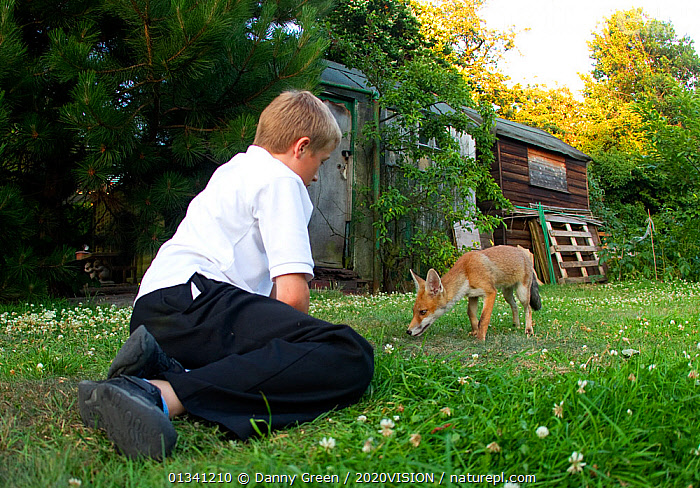 Red Fox (Vulpes vulpes) cub approaching young boy in garden, Leicestershire, England, UK, July 2010. 2020VISION Exhibition. 2020VISION Book Plate., 2020VISION,2020vision book plate,2020vision exhibition,Boy,BUILDINGS,Canidae,CARNIVORES,Caucasian,CHILDREN,dgr_05072010_0096,ENGLAND,EUROPE,exhibition,FOXES,GARDENS,MAMMALS,outdoors,PEOPLE,tame,UK,URBAN,VERTEBRATES,United Kingdom,Dogs,Canids,2020cc, Danny Green / 2020VISION