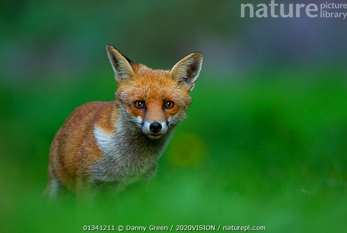 Red Fox (Vulpes vulpes) vixen in late evening light, Leicestershire, England, UK, September, 2020VISION,CANIDAE,CARNIVORES,COPYSPACE,DGR_12092010_0100,ENGLAND,EUROPE,EYES,FEMALE,FOXES,LOOKING AT CAMERA,MAMMALS,PORTRAITS,UK,URBAN,VERTEBRATES,VIXEN,United Kingdom,Dogs,Canids, Danny Green / 2020VISION