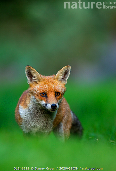 Red Fox (Vulpes vulpes) vixen in late evening light, Leicestershire, England, UK, September, 2020VISION,CANIDAE,CARNIVORES,DGR_12092010_0101,ENGLAND,EUROPE,EYES,FEMALES,FOXES,LOOKING AT CAMERA,MAMMALS,PORTRAITS,UK,URBAN,VERTEBRATES,VERTICAL,VIXEN,United Kingdom,Dogs,Canids, Danny Green / 2020VISION