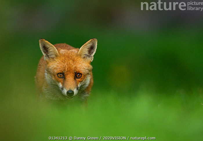 Red Fox (Vulpes vulpes) vixen in late evening light, Leicestershire, England, UK, September, 2020VISION,CANIDAE,CARNIVORES,COPYSPACE,DGR_12092010_0102,ENGLAND,EUROPE,EYES,FOXES,LOOKING AT CAMERA,MAMMALS,UK,URBAN,VERTEBRATES,VIXEN,United Kingdom,Dogs,Canids, Danny Green / 2020VISION