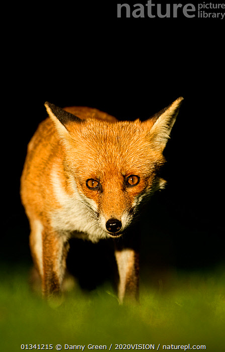 Red Fox (Vulpes vulpes) vixen in late evening light, Leicestershire, England, UK, September, 2020VISION,CANIDAE,CARNIVORES,DGR_17092010_0104,ENGLAND,EUROPE,EYES,FEMALES,FOXES,MAMMALS,PORTRAITS,UK,URBAN,VERTEBRATES,VERTICAL,VIXEN,United Kingdom,Dogs,Canids, Danny Green / 2020VISION