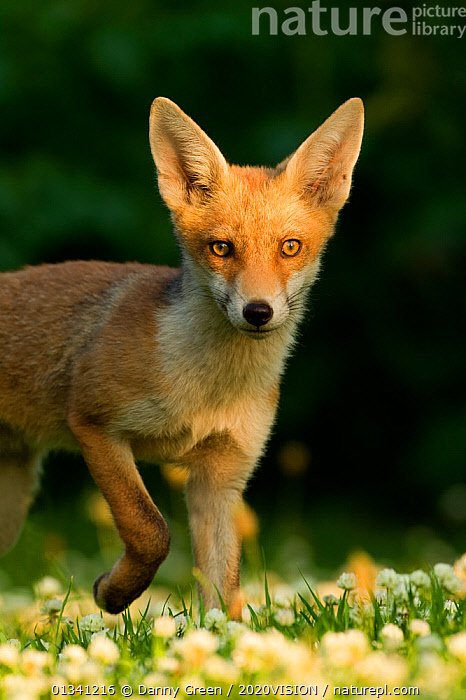 Red Fox (Vulpes vulpes) cub in late evening light, Leicestershire, England, UK, July, 2020VISION,CANIDAE,CARNIVORES,DGR_27062010_0074,ENGLAND,EUROPE,EYES,FOXES,LOOKING AT CAMERA,MAMMALS,PORTRAITS,UK,URBAN,VERTEBRATES,VERTICAL,United Kingdom,Dogs,Canids, Danny Green / 2020VISION