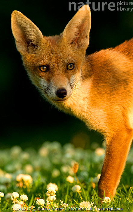 Red Fox (Vulpes vulpes) cub in late evening light, Leicestershire, England, UK, July, 2020VISION,CANIDAE,CARNIVORES,DGR_27062010_0075,ENGLAND,EUROPE,EYES,FOXES,JUVENILE,LOOKING AT CAMERA,MAMMALS,UK,URBAN,VERTEBRATES,VERTICAL,United Kingdom,Dogs,Canids,2020cc, Danny Green / 2020VISION