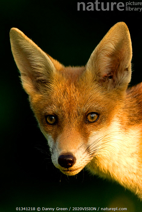 Red Fox (Vulpes vulpes) cub in late evening light, Leicestershire, England, UK, July, 2020VISION,CANIDAE,CARNIVORES,DGR_27062010_0076,ENGLAND,EUROPE,EYES,FACES,FOXES,JUVENILE,LOOKING AT CAMERA,MAMMALS,PORTRAITS,UK,URBAN,VERTEBRATES,United Kingdom,Dogs,Canids, Danny Green / 2020VISION