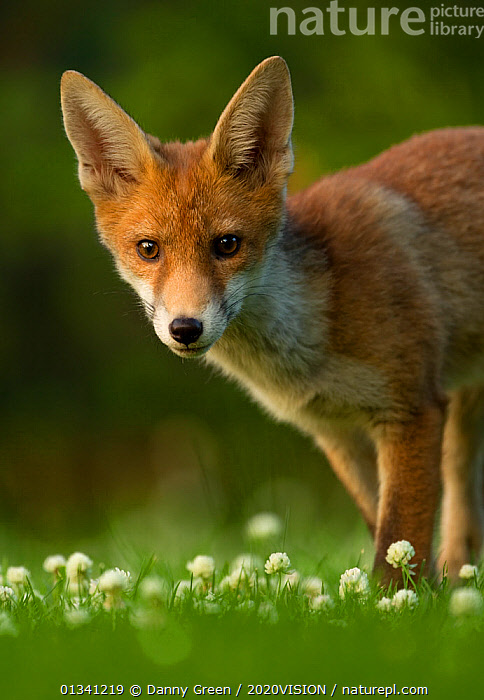 Red Fox (Vulpes vulpes) cub in late evening light, Leicestershire, England, UK, July, 2020VISION,CANIDAE,CARNIVORES,DGR_27062010_0077,ENGLAND,EUROPE,EYES,FOXES,JUVENILE,LOOKING AT CAMERA,MAMMALS,PORTRAITS,UK,URBAN,VERTEBRATES,VERTICAL,United Kingdom,Dogs,Canids,2020cc, Danny Green / 2020VISION