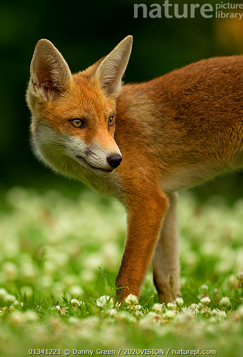 Red Fox (Vulpes vulpes) cub in late evening light, Leicestershire, England, UK, July, 2020VISION,CANIDAE,CARNIVORES,DGR_30062010_0079,ENGLAND,EUROPE,FOXES,JUVENILE,MAMMALS,PORTRAITS,UK,URBAN,VERTEBRATES,VERTICAL,United Kingdom,Dogs,Canids, Danny Green / 2020VISION