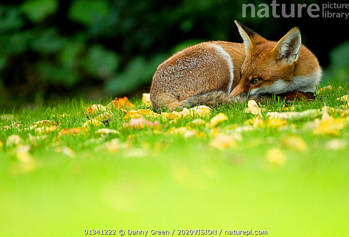 Red Fox (Vulpes vulpes) resting amongst autumn leaves, Leicestershire, England, UK, September, 2020VISION,CANIDAE,CARNIVORES,DGR_30092010_0097,ENGLAND,EUROPE,FOXES,MAMMALS,RESTING,SLEEPING,UK,URBAN,VERTEBRATES,United Kingdom,Dogs,Canids,2020cc, Danny Green / 2020VISION