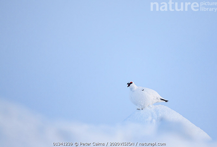 Rock ptarmigan (Lagopus mutus) male calling, camouflaged on snow in winter plumage, Cairngorms NP, Highlands, Scotland, UK, February, 2020VISION,BEHAVIOUR,BIRDS,CAIRNGORMS,CALLING,CAMOUFLAGE,EUROPE,GROUSE,MALE,MALES,MOUNTAINS,NATIONAL,NP,PARK,PCA_3_111110_03,PHASIANIDAE,SCOTLAND,SNOW,UK,VERTEBRATES,VOCALISATION,WHITE,WILDLIFE,WINTER,National Park,United Kingdom, Peter Cairns / 2020VISION