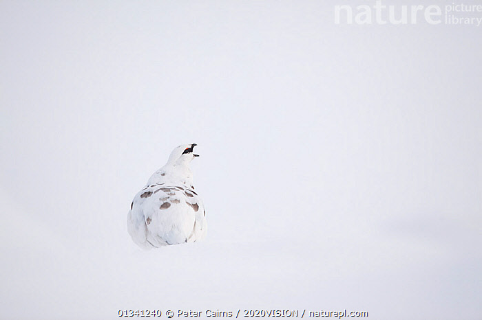 Rock ptarmigan (Lagopus mutus) male calling, camouflaged on snow in winter plumage, Cairngorms NP, Highlands, Scotland, UK, February, 2020VISION,BEHAVIOUR,BIRDS,CAIRNGORMS,CAMOUFLAGE,EUROPE,GROUSE,MALES,MOUNTAINS,NATIONAL,NP,PARK,PCA_3_111110_04,PHASIANIDAE,SCOTLAND,SNOW,UK,VERTEBRATES,VOCALISATION,WHITE,WILDLIFE,WINTER,National Park,United Kingdom, Peter Cairns / 2020VISION