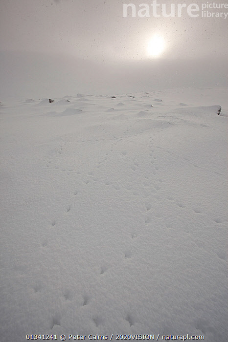 Rock ptarmigan (Lagopus mutus) tracks in snow with low winter sun, Lochain Mountain, Cairngorms NP, Highlands, Scotland, UK, February 2010, 2020VISION,BIRDS,CAIRNGORMS,CAMOUFLAGE,EUROPE,FOOTPRINTS,GRAMPIAN,GROUSE,HABITAT,LANDSCAPES,MOUNTAINS,NATIONAL,NP,PARK,PCA_3_111110_05,PHASIANIDAE,SCOTLAND,SNOW,TRACKS,UK,VERTEBRATES,VERTICAL,WHITE,WILDLIFE,WINTER,National Park,United Kingdom, Peter Cairns / 2020VISION