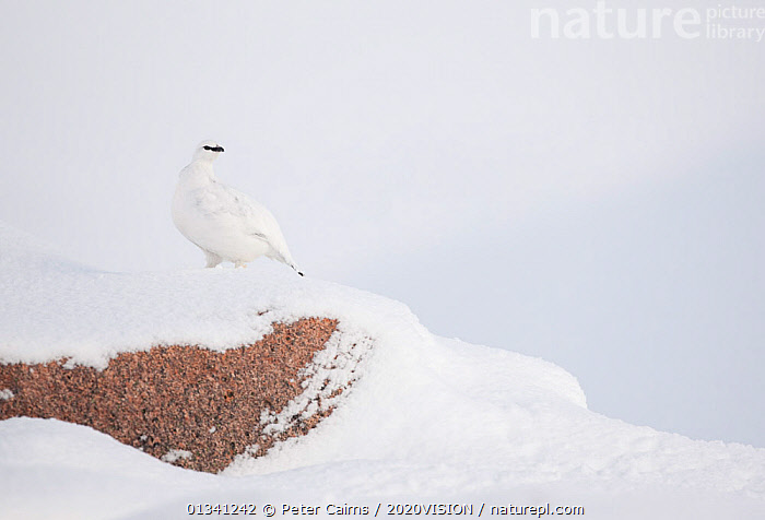 Rock ptarmigan (Lagopus mutus) camouflaged on snow in winter plumage, Cairngorms NP, Highlands, Scotland, UK, February, 2020VISION,BIRDS,CAIRNGORMS,CAMOUFLAGE,EUROPE,GROUSE,MOUNTAINS,NATIONAL,NP,PARK,PCA_3_111110_06,PHASIANIDAE,SCOTLAND,SNOW,UK,VERTEBRATES,WHITE,WILDLIFE,WINTER,National Park,United Kingdom, Peter Cairns / 2020VISION
