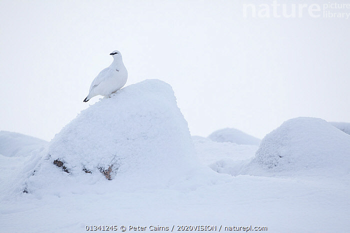 Rock ptarmigan (Lagopus mutus) camouflaged on snow in winter plumage, Cairngorms NP, Highlands, Scotland, UK, February, 2020VISION,BIRDS,CAIRNGORMS,CAMOUFLAGE,EUROPE,GROUSE,HABITAT,MOUNTAINS,NATIONAL,NP,PARK,PCA_3_111110_09,PHASIANIDAE,SCOTLAND,SNOW,UK,VERTEBRATES,WHITE,WILDLIFE,WINTER,National Park,United Kingdom, Peter Cairns / 2020VISION
