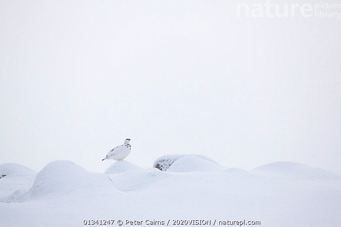 Rock ptarmigan (Lagopus mutus) camouflaged on snow in winter plumage, Cairngorms NP, Highlands, Scotland, UK, February, 2020VISION,BIRDS,CAIRNGORMS,CAMOUFLAGE,EUROPE,GROUSE,LAGOPUS,MOUNTAINS,NATIONAL,NP,PARK,PCA_3_111110_11,PHASIANIDAE,SCOTLAND,SNOW,UK,VERTEBRATES,WHITE,WILDLIFE,WINTER,National Park,United Kingdom, Peter Cairns / 2020VISION
