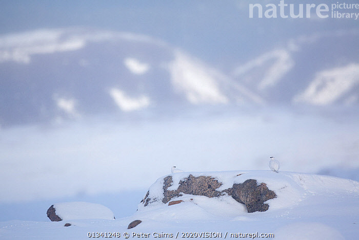 Rock ptarmigan (Lagopus mutus) pair camouflaged on snow in winter plumage, Cairngorms NP, Highlands, Scotland, UK, February. 2020VISION Exhibition. 2020VISION Book Plate., 2020VISION,2020vision book plate,2020vision exhibition,BIRDS,cairngorms,CAMOUFLAGE,EUROPE,exhibition,grampian,GROUSE,HABITAT,LANDSCAPES,MALE FEMALE PAIR,MOUNTAINS,National,NP,Park,pca_3_111110_12,Phasianidae,SCOTLAND,SNOW,two,UK,VERTEBRATES,WHITE,WILDLIFE,WINTER,National Park,United Kingdom, Peter Cairns / 2020VISION