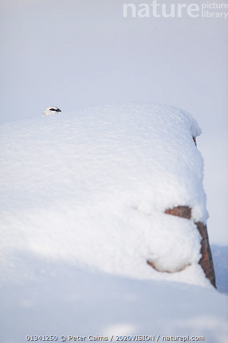 Rock ptarmigan (Lagopus mutus) head appearing over boulder, camouflaged against snow in winter plumage, Cairngorms NP, Highlands, Scotland, UK, February, 2020VISION,BIRDS,CAIRNGORMS,CAMOUFLAGE,EUROPE,GRAMPIAN,GROUSE,MOUNTAINS,NATIONAL,NP,PARK,PCA_3_111110_14,PHASIANIDAE,SCOTLAND,SNOW,UK,VERTEBRATES,VERTICAL,WHITE,WILDLIFE,WINTER,National Park,United Kingdom, Peter Cairns / 2020VISION