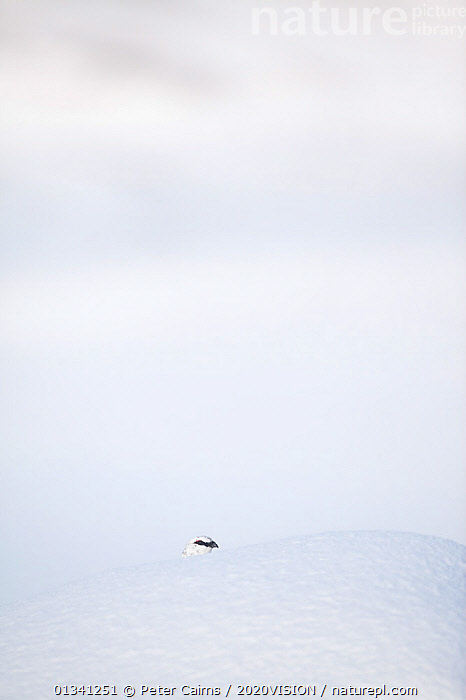 Rock ptarmigan (Lagopus mutus) head appearing over boulder, camouflaged against snow in winter plumage, Cairngorms NP, Highlands, Scotland, UK, February, 2020VISION,ARTY SHOTS,BIRDS,CAIRNGORMS,CAMOUFLAGE,COPYSPACE,EUROPE,GRAMPIAN,GROUSE,MOUNTAINS,NATIONAL,NP,PARK,PCA_3_111110_15,PHASIANIDAE,SCOTLAND,SNOW,UK,VERTEBRATES,VERTICAL,WHITE,WILDLIFE,WINTER,National Park,United Kingdom, Peter Cairns / 2020VISION