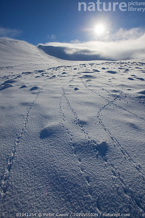 Rock ptarmigan (Lagopus mutus) tracks in snow, with low winter sun, Lochain Mountain, Cairngorms NP, Highlands, Scotland, UK, February 2010, 2020VISION,BIRDS,BOULDERS,CAIRNGORMS,CAMOUFLAGE,CORRIES,EUROPE,FOOTPRINTS,GRAMPIAN,GROUSE,LANDSCAPES,MOUNTAINS,NATIONAL,NP,PARK,PCA_3_111110_18,PHASIANIDAE,SCOTLAND,SNOW,TRACKS,UK,VERTEBRATES,VERTICAL,WHITE,WILDLIFE,WINTER,National Park,United Kingdom, Peter Cairns / 2020VISION