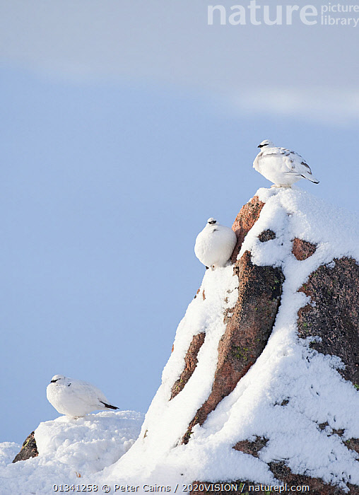 Three Rock ptarmigan (Lagopus mutus) perched on rock, camouflaged against snow in winter plumage, Cairngorms NP, Highlands, Scotland, UK, February, 2020VISION,BIRDS,CAIRNGORMS,CAMOUFLAGE,COPYSPACE,EUROPE,GRAMPIAN,GROUSE,MOUNTAINS,NATIONAL,NP,PARK,PCA_3_111110_22,PHASIANIDAE,SCOTLAND,SNOW,THREE,UK,VERTEBRATES,VERTICAL,WHITE,WILDLIFE,WINTER,National Park,United Kingdom,2020cc, Peter Cairns / 2020VISION