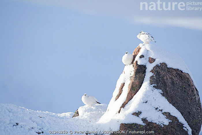 Three Rock ptarmigan (Lagopus mutus) perched on rock, camouflaged against snow in winter plumage, Cairngorms NP, Highlands, Scotland, UK, February. Did you know? The ptarmigan is the only British bird to turn white in the winter., 2020VISION,BIRDS,CAIRNGORMS,CAMOUFLAGE,EUROPE,GRAMPIAN,GROUSE,MOUNTAINS,NATIONAL,NP,picday,PARK,PCA_3_111110_23,PHASIANIDAE,SCOTLAND,SNOW,THREE,UK,VERTEBRATES,WHITE,WILDLIFE,WINTER,National Park,United Kingdom,2020cc, Peter Cairns / 2020VISION