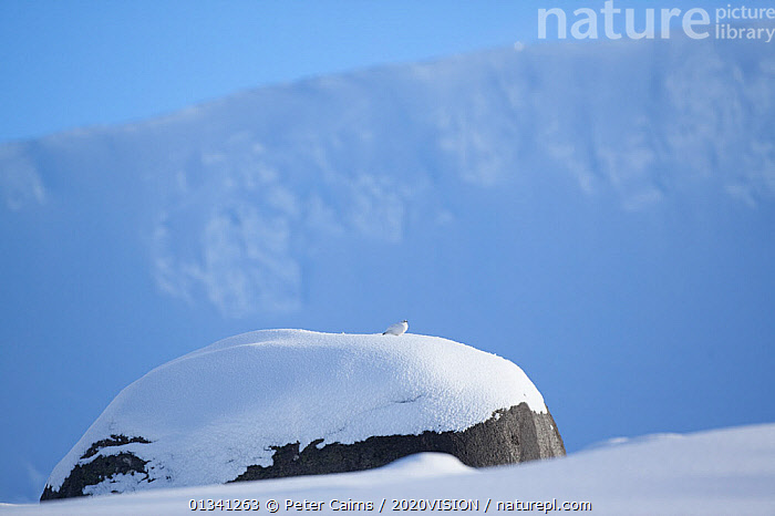 Rock ptarmigan (Lagopus mutus)perched on boulder, camouflaged against snow in winter plumage, Cairngorms NP, Highlands, Scotland, UK, February, 2020VISION,BIRDS,CAIRNGORMS,CAMOUFLAGE,EUROPE,GRAMPIAN,GROUSE,LANDSCAPES,MOUNTAINS,NATIONAL,NP,PARK,PCA_3_111110_28,PHASIANIDAE,SCOTLAND,SNOW,UK,VERTEBRATES,WHITE,WILDLIFE,WINTER,National Park,United Kingdom, Peter Cairns / 2020VISION