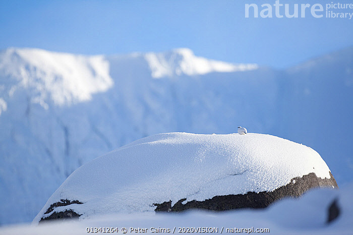 Rock ptarmigan (Lagopus mutus) perched on boulder, camouflaged against snow in winter plumage, Cairngorms NP, Highlands, Scotland, UK, February, 2020VISION,BIRDS,CAIRNGORMS,CAMOUFLAGE,EUROPE,GRAMPIAN,GROUSE,LANDSCAPES,MOUNTAINS,NATIONAL,NP,PARK,PCA_3_111110_29,PHASIANIDAE,SCOTLAND,SNOW,UK,VERTEBRATES,WHITE,WILDLIFE,WINTER,National Park,United Kingdom,2020cc, Peter Cairns / 2020VISION