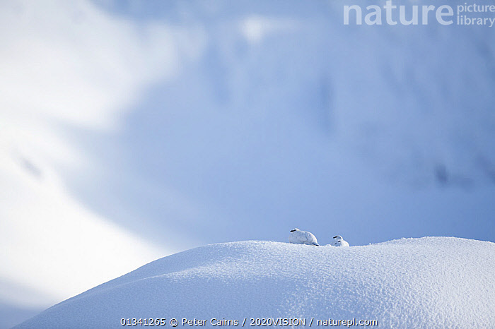 Rock ptarmigan (Lagopus mutus) pair camouflaged against snow in winter plumage, Cairngorms NP, Highlands, Scotland, UK, February, 2020VISION,BIRDS,CAIRNGORMS,CAMOUFLAGE,EUROPE,GRAMPIAN,GROUSE,HIGH ANGLE SHOT,MALE FEMALE PAIR,MOUNTAINS,NATIONAL,NP,PARK,PCA_3_111110_30,PHASIANIDAE,SCOTLAND,SNOW,UK,VERTEBRATES,WHITE,WILDLIFE,WINTER,National Park,United Kingdom, Peter Cairns / 2020VISION