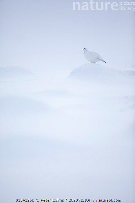Rock ptarmigan (Lagopus mutus) camouflaged against snow in winter plumage, Cairngorms NP, Highlands, Scotland, UK, February, 2020VISION,BIRDS,CAIRNGORMS,CAMOUFLAGE,EUROPE,GRAMPIAN,GROUSE,MOUNTAINS,NATIONAL,NP,PARK,PCA_3_111110_33,PHASIANIDAE,SCOTLAND,SNOW,UK,VERTEBRATES,VERTICAL,WHITE,WILDLIFE,WINTER,National Park,United Kingdom, Peter Cairns / 2020VISION