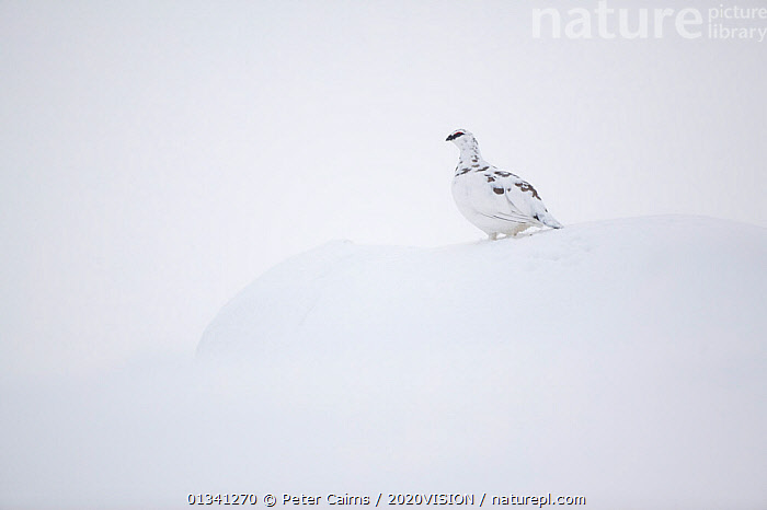 Rock ptarmigan (Lagopus mutus) male camouflaged against snow in winter plumage, Cairngorms NP, Highlands, Scotland, UK, February, 2020VISION,BIRDS,CAIRNGORMS,CAMOUFLAGE,EUROPE,GRAMPIAN,GROUSE,MOUNTAINS,NATIONAL,NP,PARK,PCA_3_111110_35,PHASIANIDAE,SCOTLAND,SNOW,UK,VERTEBRATES,WHITE,WILDLIFE,WINTER,National Park,United Kingdom, Peter Cairns / 2020VISION