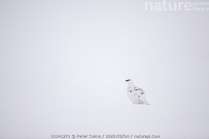 Rock ptarmigan (Lagopus mutus) male camouflaged against snow in winter plumage, Cairngorms NP, Highlands, Scotland, UK, February, 2020VISION,BIRDS,CAIRNGORMS,CAMOUFLAGE,EUROPE,GRAMPIAN,GROUSE,MOUNTAINS,NATIONAL,NP,PARK,PCA_3_111110_36,PHASIANIDAE,SCOTLAND,SNOW,UK,VERTEBRATES,WHITE,WILDLIFE,WINTER,National Park,United Kingdom, Peter Cairns / 2020VISION