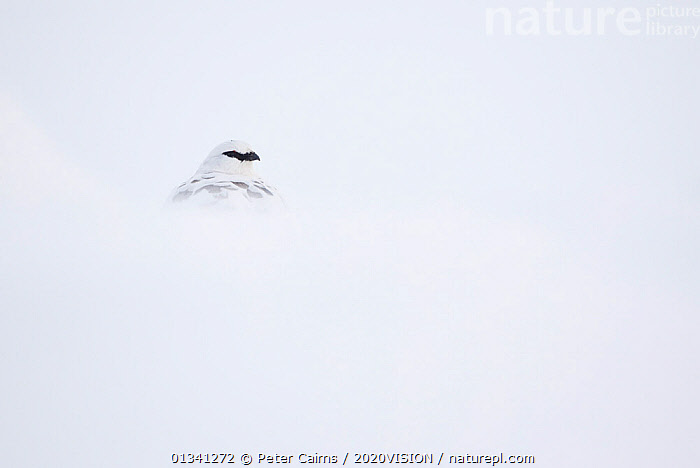 Rock ptarmigan (Lagopus mutus) male camouflaged against snow in winter plumage, Cairngorms NP, Highlands, Scotland, UK, February, 2020VISION,BIRDS,CAIRNGORMS,CAMOUFLAGE,EUROPE,GRAMPIAN,GROUSE,MOUNTAINS,NATIONAL,NP,PARK,PCA_3_111110_37,PHASIANIDAE,SCOTLAND,SNOW,UK,VERTEBRATES,WHITE,WILDLIFE,WINTER,National Park,United Kingdom, Peter Cairns / 2020VISION