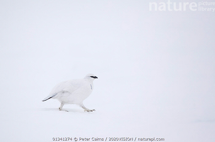 Rock ptarmigan (Lagopus mutus) male walking over snow, camouflaged in winter plumage, Cairngorms NP, Highlands, Scotland, UK, February, 2020VISION,BEHAVIOUR,BIRDS,CAIRNGORMS,CAMOUFLAGE,EUROPE,GRAMPIAN,GROUSE,MOUNTAINS,MOVEMENT,NATIONAL,NP,PARK,PCA_3_111110_39,PHASIANIDAE,SCOTLAND,SNOW,UK,VERTEBRATES,WALKING,WHITE,WILDLIFE,WINTER,National Park,United Kingdom, Peter Cairns / 2020VISION