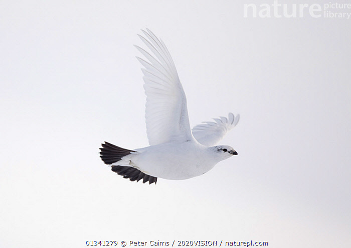 Rock ptarmigan (Lagopus mutus) female in flight in winter plumage, Cairngorms NP, Highlands, Scotland, UK, February. 2020VISION Book Plate., 2020VISION,2020vision book plate,BIRDS,cairngorms,CAMOUFLAGE,EUROPE,female,FEMALES,FLYING,GROUSE,MOUNTAINS,National,NP,Park,pca_3_111110_44,Phasianidae,SCOTLAND,SNOW,UK,VERTEBRATES,WHITE,WILDLIFE,WINTER,National Park,United Kingdom,2020cc, Peter Cairns / 2020VISION