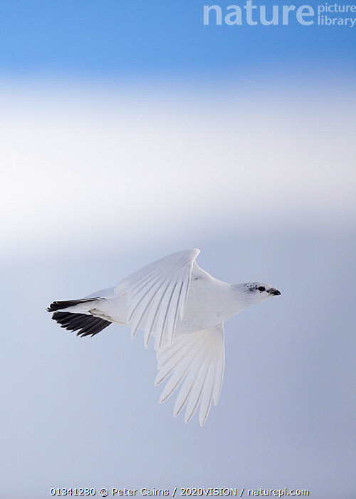 Rock ptarmigan (Lagopus mutus) female in flight in winter plumage, Cairngorms NP, Highlands, Scotland, UK, February, 2020VISION,BIRDS,CAIRNGORMS,CAMOUFLAGE,EUROPE,FEMALE,FEMALES,FLYING,GROUSE,MOUNTAINS,NATIONAL,NP,PARK,PCA_3_111110_45,PHASIANIDAE,SCOTLAND,SNOW,UK,VERTEBRATES,VERTICAL,WHITE,WILDLIFE,WING FEATHERS,WINTER,National Park,United Kingdom, Peter Cairns / 2020VISION