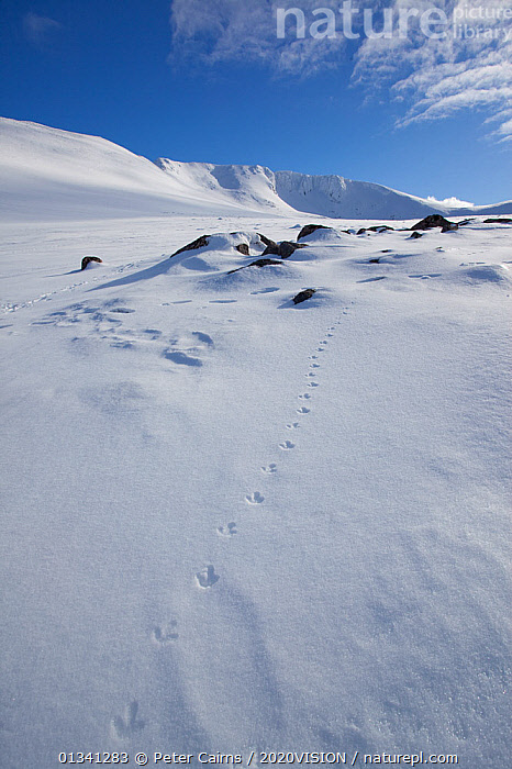 Rock ptarmigan (Lagopus mutus) tracks in snow in winter landscape, Cairngorms NP, Highlands, Scotland, UK, February 2010, 2020VISION,CAIRNGORMS,EUROPE,FOOTPRINTS,GRAMPIAN,ICE,LANDSCAPES,MOUNTAINS,NATIONAL,NP,PARK,PCA_3_111110_48,PHASIANIDAE,ROCKS,SCOTLAND,SNOW,TRACKS,UK,VERTICAL,WHITE,WINTER,National Park,United Kingdom, Peter Cairns / 2020VISION