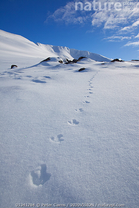 Rock ptarmigan (Lagopus mutus) tracks in snow in winter landscape, Cairngorms NP, Highlands, Scotland, UK, February 2010, 2020VISION,CAIRNGORMS,EUROPE,FOOTPRINTS,GRAMPIAN,ICE,LANDSCAPES,MOUNTAINS,NATIONAL,NP,PARK,PCA_3_111110_49,PHASIANIDAE,ROCKS,SCOTLAND,SNOW,TRACKS,UK,VERTICAL,WHITE,WINTER,National Park,United Kingdom,2020cc, Peter Cairns / 2020VISION