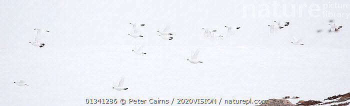 Rock ptarmigan (Lagopus mutus) group in flight in winter plumage, Cairngorms NP, Highlands, Scotland, UK, February, 2020VISION,BIRDS,CAIRNGORMS,CAMOUFLAGE,EUROPE,FLOCKS,FLYING,GROUPS,GROUSE,MOUNTAINS,NATIONAL,NP,PANORAMIC,PARK,PCA_3_111110_51,PHASIANIDAE,SCOTLAND,SNOW,UK,VERTEBRATES,WHITE,WILDLIFE,WINTER,National Park,United Kingdom, Peter Cairns / 2020VISION