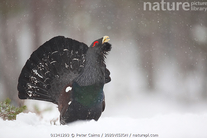 Capercaillie (Tetrao urogallus) male displaying in pine forest in snow, Scotland, UK, February, 2020VISION,BIRDS,CALEDONIAN PINEWOODS,COCK,CONIFEROUS,COURTSHIP,DISPLAY,ENGLAND,EUROPE,FORESTS,GALLIFORMES,GAME BIRDS,GROUSE,MALE,MALES,MATING BEHAVIOUR,PCA_14_041210_10,PHASIANIDAE,PINE,SCOTLAND,SNOW,SNOWING,TREES,UK,VERTEBRATES,VOCALISATION,WILDLIFE,WINTER,WOODLANDS,Communication,PLANTS,United Kingdom, Peter Cairns / 2020VISION