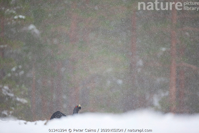 Capercaillie (Tetrao urogallus) male displaying in pine forest in snow storm, Scotland, UK, February, 2020VISION,BIRDS,CALEDONIAN PINEWOODS,COCK,CONIFEROUS,COURTSHIP,DISPLAY,ENGLAND,EUROPE,FORESTS,GALLIFORMES,GAME BIRDS,GROUSE,HABITAT,MALE,MALES,MATING BEHAVIOUR,PCA_14_041210_12,PHASIANIDAE,PINE,SCOTLAND,SNOW,SNOWING,TREES,UK,VERTEBRATES,VOCALISATION,WILDLIFE,WINTER,WOODLANDS,Communication,PLANTS,United Kingdom, Peter Cairns / 2020VISION