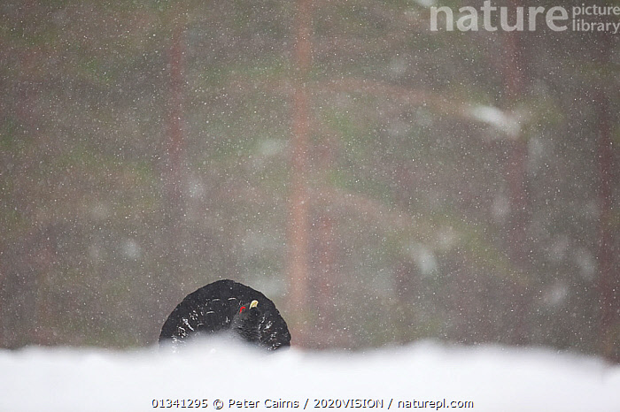 Capercaillie (Tetrao urogallus) male displaying in pine forest in snow storm, Scotland, UK, February, 2020VISION,BIRDS,CALEDONIAN PINEWOODS,COCK,CONIFEROUS,COURTSHIP,DISPLAY,ENGLAND,EUROPE,FORESTS,GALLIFORMES,GAME BIRDS,GROUSE,MALE,MALES,MATING BEHAVIOUR,PCA_14_041210_13,PHASIANIDAE,PINE,SCOTLAND,SNOW,SNOWING,TREES,UK,VERTEBRATES,VOCALISATION,WILDLIFE,WINTER,WOODLANDS,Communication,PLANTS,United Kingdom, Peter Cairns / 2020VISION