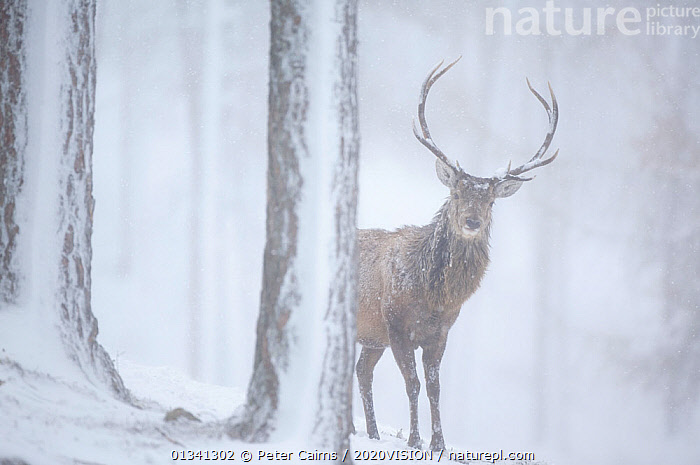 "Red deer (Cervus elaphus) stag in pine forest in snow blizzard, Alvie Estate, Cairngorms NP, Highlands, Scotland, UK, March. Photographer quote: ""At times I couldn�t see this red deer stag such was the severity of the blizzard. With horizontal snow driving through the ancient pines, I felt sorry for the deer, for myself and as the lens coated in snow for the umpteenth time, for my camera!"" Did you know: Only 1% of Scotland�s original forest cover remains, but with several ambitious forest restoration schemes afoot in the Cairngorms National Park, habitat will be improved for red deer as well as other forest species., PICDAY,2020VISION,ARTIODACTYLA,CAIRNGORMS,CALEDONIAN PINEWOODS,CERVIDAE,CONIFEROUS,DEER,EUROPE,FORESTS,MALE,MALES,MAMMALS,NATIONAL,PARK,PCA_14_051110_003,PINE,SCOTLAND,SNOW,SNOWING,TREES,UK,VERTEBRATES,WHITE,WILDLIFE,WINTER,WOODLANDS,PLANTS,United Kingdom, Peter Cairns / 2020VISION"