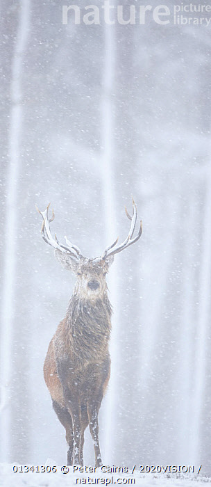 Red deer (Cervus elaphus) stag in pine forest in snow blizzard, Alvie Estate, Cairngorms NP, Highlands, Scotland, UK, March, 2020VISION,ARTIODACTYLA,CAIRNGORMS,CALEDONIAN PINEWOODS,CERVIDAE,CONIFEROUS,DEER,EUROPE,FORESTS,MALE,MALES,MAMMALS,NATIONAL,PANORAMIC,PARK,PCA_14_051110_008,PINE,SCOTLAND,SNOW,SNOWING,TREES,UK,VERTEBRATES,VERTICAL,WHITE,WILDLIFE,WINTER,WOODLANDS,PLANTS,United Kingdom, Peter Cairns / 2020VISION