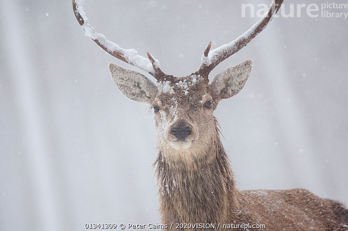 Red deer (Cervus elaphus) portrait of stag in pine forest in snow blizzard, Alvie Estate, Cairngorms NP, Highlands, Scotland, UK, March, 2020VISION,ARTIODACTYLA,CAIRNGORMS,CALEDONIAN PINEWOODS,CERVIDAE,CONIFEROUS,DEER,EUROPE,FORESTS,LOOKING AT CAMERA,MALE,MALES,MAMMALS,NATIONAL,PARK,PCA_14_051110_011,PINE,PORTRAITS,SCOTLAND,SNOW,SNOWING,UK,VERTEBRATES,WILDLIFE,WINTER,WOODLANDS,United Kingdom, Peter Cairns / 2020VISION