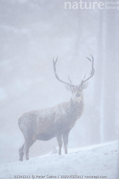 Red deer (Cervus elaphus) stag in pine forest in snow blizzard, Alvie Estate, Cairngorms NP, Highlands, Scotland, UK, March, 2020VISION,ARTIODACTYLA,CAIRNGORMS,CALEDONIAN PINEWOODS,CERVIDAE,CONIFEROUS,DEER,EUROPE,FORESTS,MALE,MALES,MAMMALS,NATIONAL,PARK,PCA_14_051110_014,PINE,SCOTLAND,SNOW,SNOWING,TREES,UK,VERTEBRATES,VERTICAL,WHITE,WILDLIFE,WINTER,WOODLANDS,PLANTS,United Kingdom, Peter Cairns / 2020VISION
