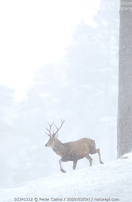 Red deer (Cervus elaphus) stag moving through pine forest in snow blizzard, Alvie Estate, Cairngorms NP, Highlands, Scotland, UK, March, 2020VISION,ARTIODACTYLA,BEHAVIOUR,CAIRNGORMS,CALEDONIAN PINEWOODS,CERVIDAE,CONIFEROUS,DEER,EUROPE,FORESTS,MALE,MALES,MAMMALS,MOVEMENT,NATIONAL,PARK,PCA_14_051110_015,PINE,RUNNING,SCOTLAND,SNOW,SNOWING,TREES,UK,VERTEBRATES,VERTICAL,WHITE,WILDLIFE,WINTER,WOODLANDS,PLANTS,United Kingdom, Peter Cairns / 2020VISION