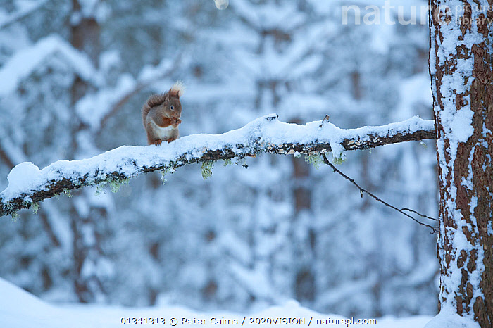 Red squirrel (Sciurus vulgaris) on snow-covered branch in pine forest, Glenfeshie Estate, Cairngorms NP, Highlands, Scotland, UK, January, 2020VISION,CAIRNGORMS,CALEDONIAN PINEWOODS,CONIFEROUS,EUROPE,FORESTS,HABITAT,MAMMALS,NATIONAL,NP,PARK,PCA_14_111110_02,RODENTS,SCIURIDAE,SCOTLAND,SNOW,SQUIRRELS,TREES,UK,VERTEBRATES,VULNERABLE,WHITE,WILDLIFE,WINTER,WOODLANDS,National Park,PLANTS,United Kingdom,2020cc, Peter Cairns / 2020VISION