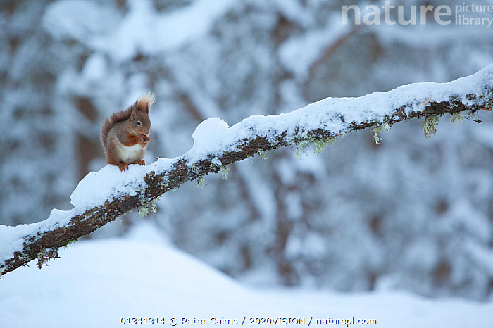 Red squirrel (Sciurus vulgaris) on snow-covered branch in pine forest, Glenfeshie Estate, Cairngorms NP, Highlands, Scotland, UK, January, 2020VISION,CAIRNGORMS,CALEDONIAN PINEWOODS,CONIFEROUS,EUROPE,FORESTS,HABITAT,MAMMALS,NATIONAL,NP,PARK,PCA_14_111110_03,RODENTS,SCIURIDAE,SCOTLAND,SNOW,SQUIRRELS,TREES,UK,VERTEBRATES,VULNERABLE,WHITE,WILDLIFE,WINTER,WOODLANDS,National Park,PLANTS,United Kingdom, Peter Cairns / 2020VISION