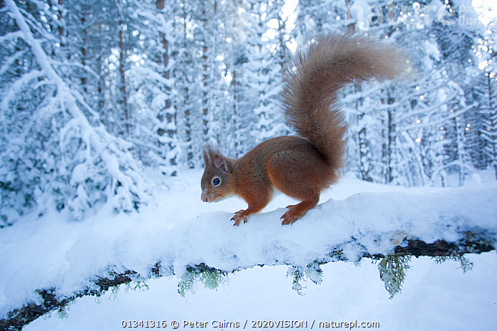 Red squirrel (Sciurus vulgaris) on snow-covered branch in pine forest, Glenfeshie Estate, Cairngorms NP, Highlands, Scotland, UK, January, 2020VISION,CAIRNGORMS,CALEDONIAN PINEWOODS,CONIFEROUS,EUROPE,FORESTS,HABITAT,MAMMALS,NATIONAL,NP,PARK,PCA_14_111110_05,RODENTS,SCIURIDAE,SCOTLAND,SNOW,SQUIRRELS,TREES,UK,VERTEBRATES,VULNERABLE,WHITE,WILDLIFE,WINTER,WOODLANDS,National Park,PLANTS,United Kingdom,2020cc, Peter Cairns / 2020VISION
